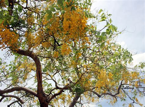 summer tree with yellow flowers photograph by zoh beny