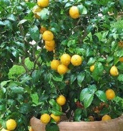 limone in vaso perde foglie limoni in vaso domande e risposte orto e frutta