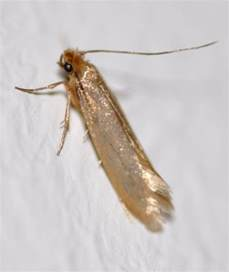 identify and webbing clothes moths