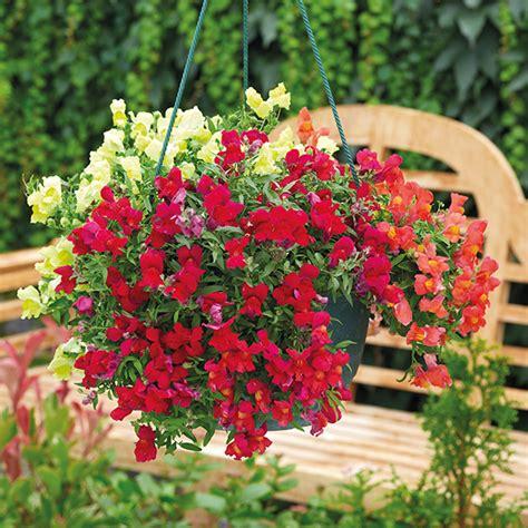 Bibit Benih Seed Flower Snapdragon Mix Antirrhinum Majus antirrhinum candelabra mixed 20 large plants from mr fothergill s
