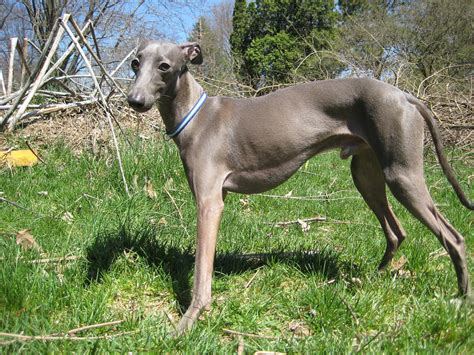 Italian Greyhound Shed by 19 Breeds That Shouldn T Live With Cats Reference