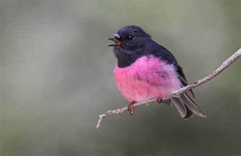pink robin birdlife australia