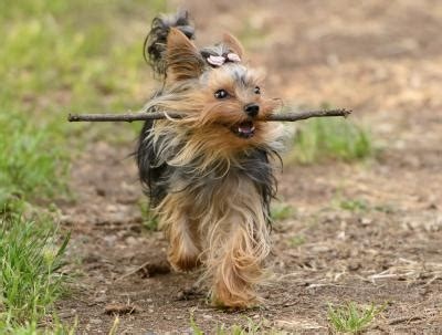 yorkie puppy biting what is the difference between a yorkie a silky terrier ehow