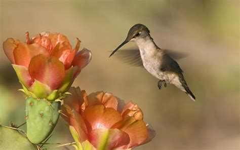 wallpaper flower bird hummingbird wallpaper 777946