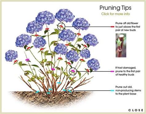 25 best ideas about pruning hydrangeas on hydrangea garden hydrangeas and when to