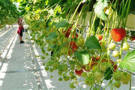 erdbeeren wann pflanzen erdbeeren pflanzen erdbeeren pflanzen der beste zeitpunkt