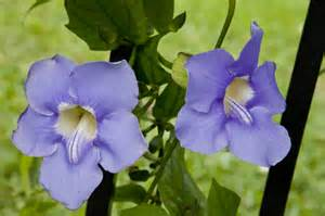 two purple flowers of a sky vine clippix etc