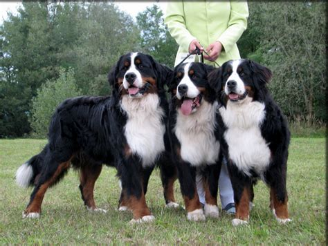 bernese mountain adoption bernese mountain rescue colorado pet photos gallery o7gbxv42dr