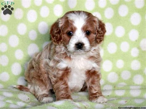 cavapoo puppies for sale in pa 132 best images about cavapoo puppies on poodles i want and spaniels