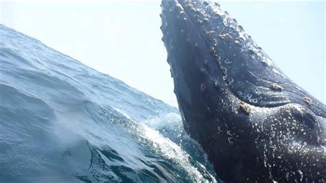 boat r near humpback whale breaching near boat youtube