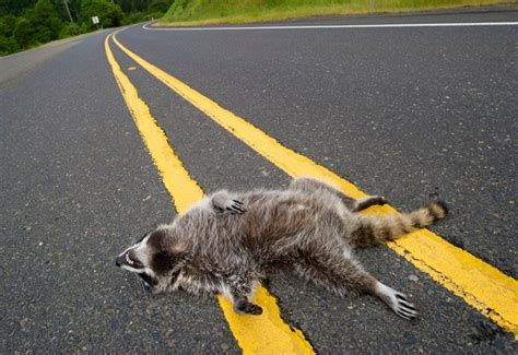 kills raccoon road kill raccoon the spokesman review