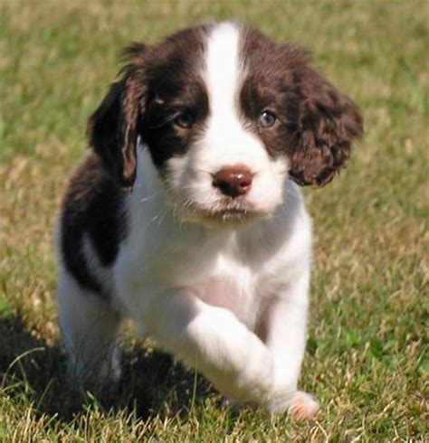 springer puppies sporting puppies pictures