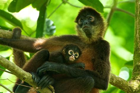 monkey with baby spider monkey pictures www imgkid the image