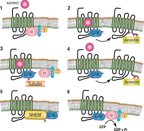 g protein receptor kinase novel features of g protein coupled receptor kinase 4