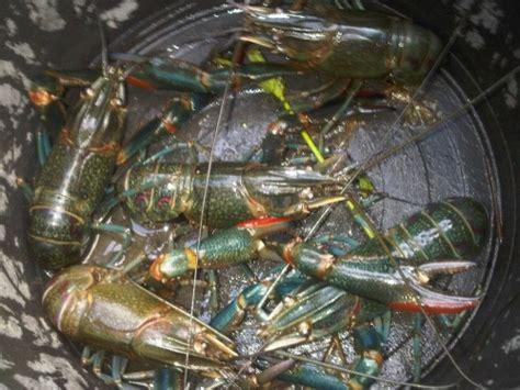 Bibit Lobster Air Laut lobster air tawar