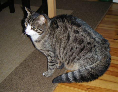 ab wann werden katzen rollig katzen k 246 rpersprache verstehen infos
