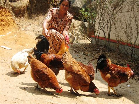 backyard poultry in india poultry farming card krishi vigyan kendra