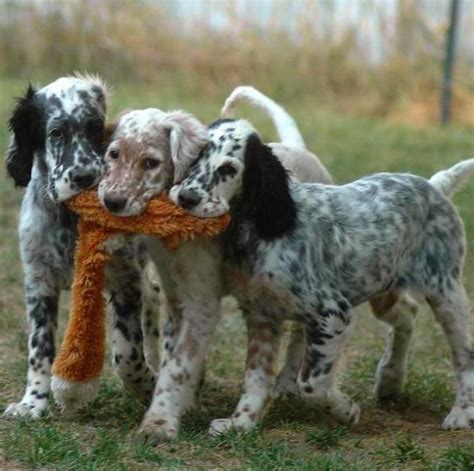 english setter gun dog breeders 658 best i love irish setters other setters too images