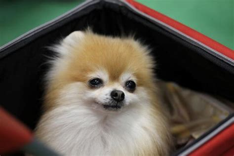 cutest in the world pomeranian the cutest teacup pomeranian of 2014