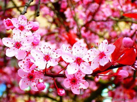 bunga hesyma