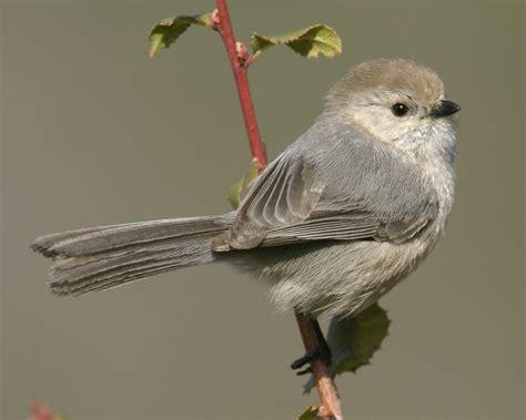 bushtit audubon field guide
