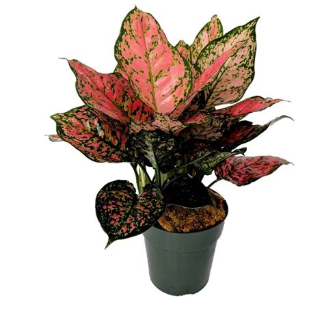 buy aglaonema red ruby chinese evergreen