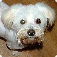 the dog house rochester ny rochester ny maltese bichon frise mix meet crystal a dog for adoption