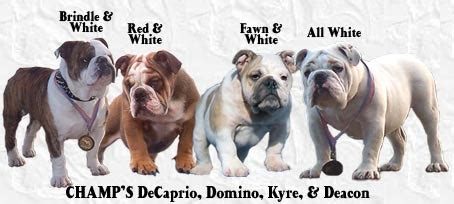 bulldogs colors chbulldogs bulldog breed standard