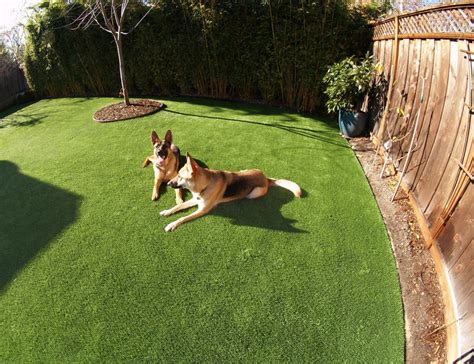 dog in backyard artificial grass installed for a dog run area in a