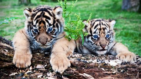 cute tiger cubs playing funny tigers playing funny pets