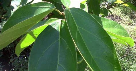 Obat Jantung Madu Sayur Organik Provena ramuan obat alami untuk mag radang lambung tanaman obat tradisional