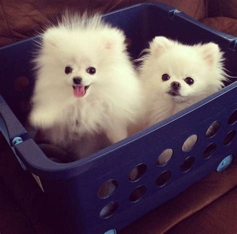 where did pomeranians come from best 25 white pomeranian ideas on white pomeranian puppies pomeranian