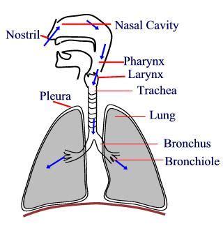 pathway of air o2 nose external nares nasal cavity biology human respiratory system worksheet test paper