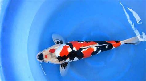 Bibit Ikan Koi Bagus ikan jenis ikan koi dan harganya