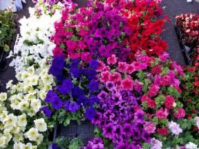 romantic flowers petunia flowers