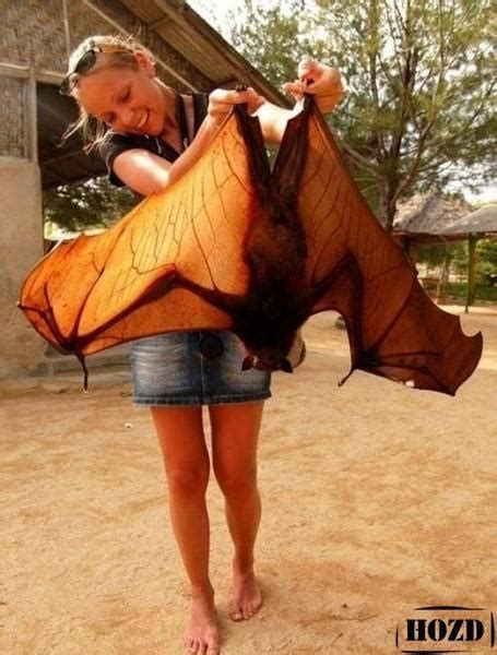 What Can I Use To Keep Mosquitoes Off My Dog by World S Biggest Bat Giant Golden Crowned Flying Fox