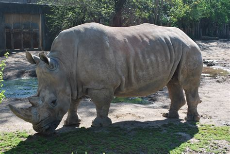 File:Southern White Rhino.jpg - Wikimedia Commons