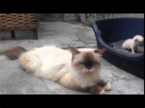 Jual Parfum Kucing 60 ragdoll mix ragdoll cat mating kucing mengawan funnycat tv