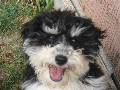 dogs havanese havanese photo and wallpaper beautiful havanese pictures