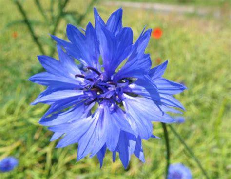 fiore fiordaliso cyanus segetum