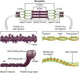 The sarcomere the region from one z line to the next z line is the