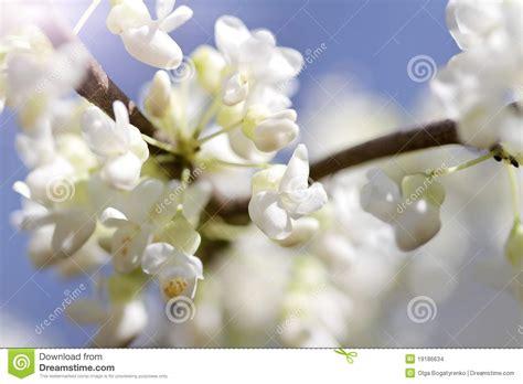 fiori di ciliegia fiori di ciliegia fotografia stock immagine di ciliegia