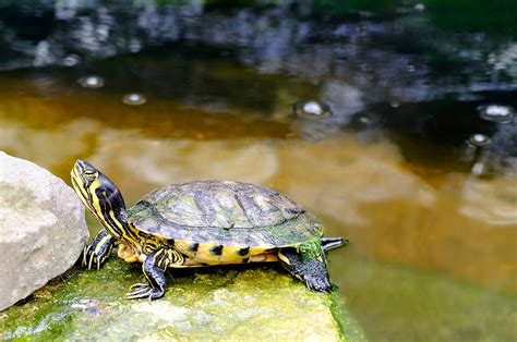 quot yellow bellied slider turtle quot by rod johnson redbubble