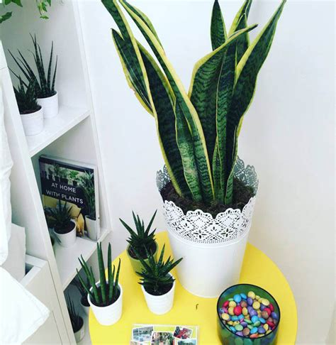 sansevieria snake plant mother  laws tongue guide
