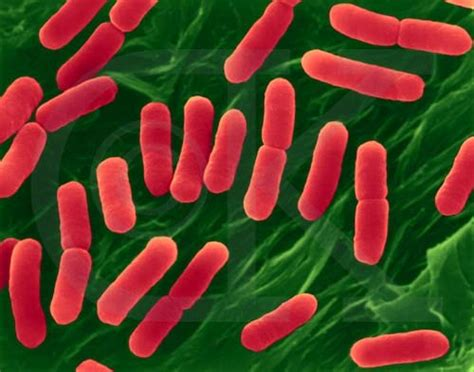 exle of eubacteria 10 interesting eubacteria facts my interesting facts