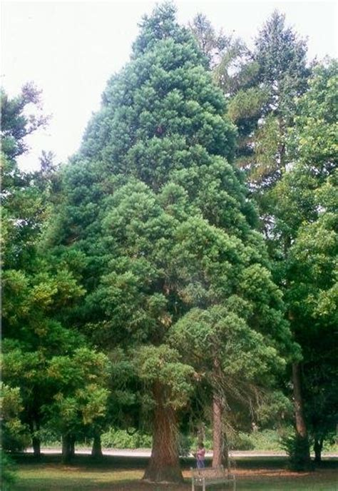 trees in pa pennsylvania sequoia nursery