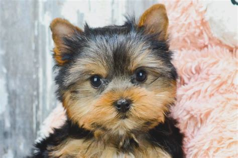 affordable puppies near me what s so trendy about yorkie puppies for sale in ohio that