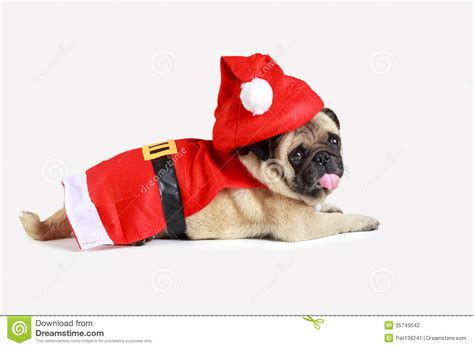 pug in santa costume pug puppy wearing a santa claus costume stock photography image 35749542