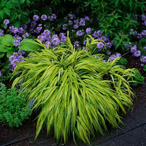 green and purple l shade love the lime green japanese forest grass paired with a