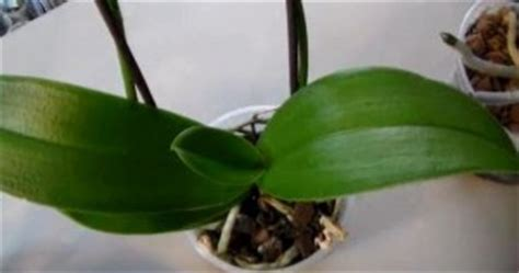 terminal spike orchid will your orchid ever rebloom